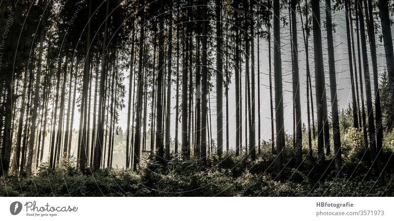 Nadelwald Wald Bäume Fichten Forst Forstwirtschaft Gegenlicht Baum Natur Außenaufnahme Menschenleer Landschaft Umwelt Farbfoto Tag Pflanze grün Licht Holz