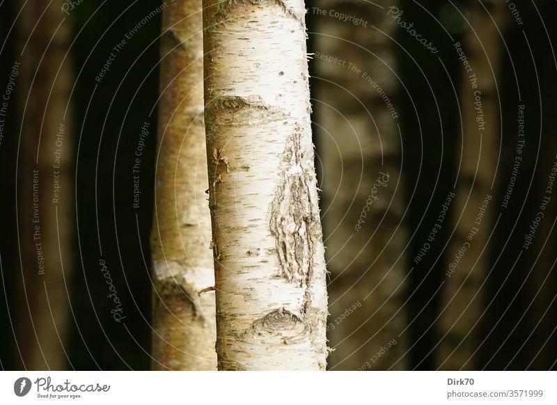 Birkenstämme Baum Baumstamm Birkenwald Birkenstamm Rinde Baumrinde Natur Wald Außenaufnahme Menschenleer Farbfoto Umwelt Pflanze Tag weiß Holz Gedeckte Farben
