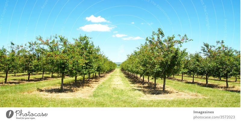 Schöne Naturszene mit Kirschbaum. Plantage von Kirschbäumen im Frühling. Obstgarten im Frühjahr. Feld Kirschbaum Obstplantage am sonnigen Tag im Mai nach der Blüte mit Wolkenlandschaft.