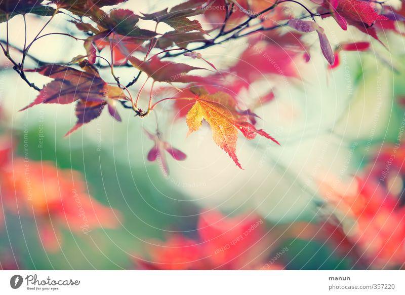 rot gefärbt Natur Baum Blatt Herbst Frühling Vergänglichkeit Wandel & Veränderung herbstlich Ahornblatt Herbstfärbung Herbstbeginn Frühlingsfarbe Ahornzweig