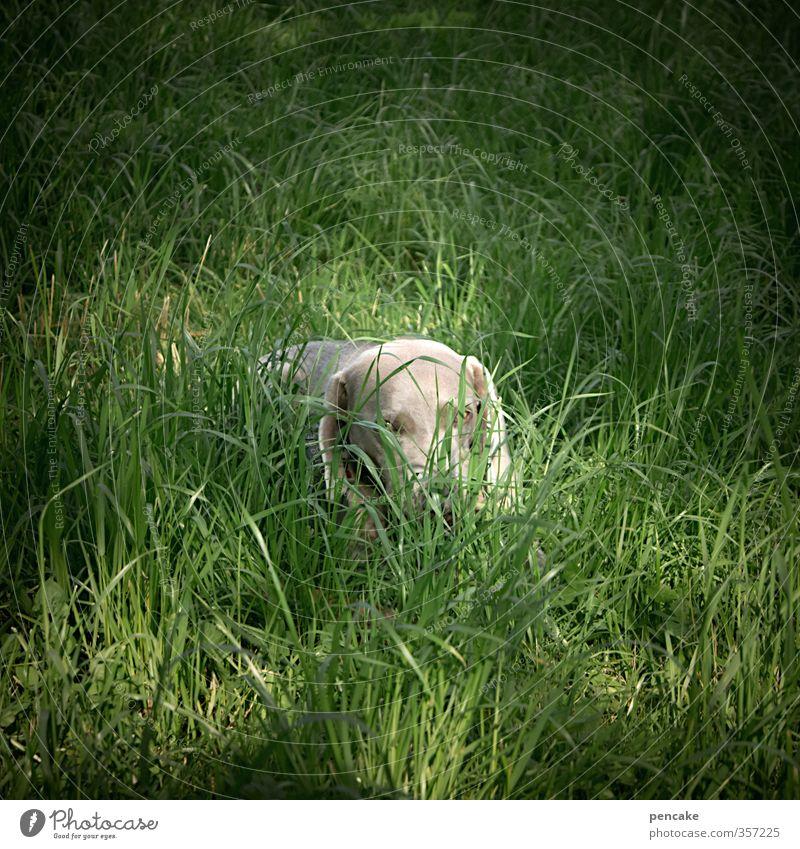 AST6 Inntal | Tia? Hund Natur Sommer Tier Auge Gras Spielen grau Garten Erde Fröhlichkeit Zeichen Suche Fell Tiergesicht verstecken