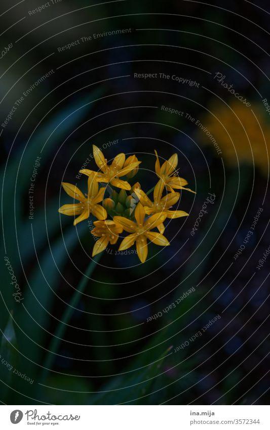 im Dunklen Blumenhintergrund dekorativ natürlich gelb schön geblümt Blumenstrauß Natur frisch Schönheit Garten Blütenblatt farbberatung ästhetisch Farbe Blühend