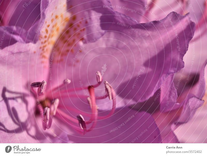 Rhododendronblüte Natur Blume Blüte lila Schatten Makroaufnahme Pflanze Nahaufnahme Blühend Farbfoto Frühling Garten violett Sommer