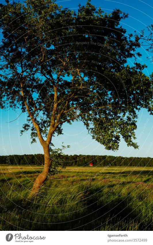 Abendstimmung im Emsland Eiche Baum Pflanze Farbfoto Menschenleer grün Abendsonne goldene stunde Außenaufnahme Landschaft Wiese Sonnenuntergang goldene Stunde