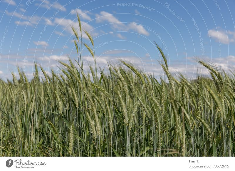 Kornfeld Feld Getreide Sommer Himmel Landwirtschaft Ähren Natur grün Ackerbau Ernährung Getreidefeld Lebensmittel Nutzpflanze Landschaft Wachstum Außenaufnahme