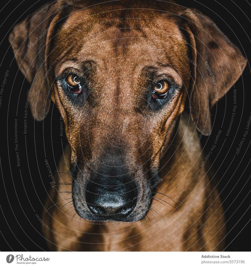 Reinrassiger Ridgeback-Hund auf schwarzem Hintergrund Rhodesian Ridgeback züchten Haustier Tier Maul Eckzahn heimisch Stammbaum Windstille ernst braun loyal
