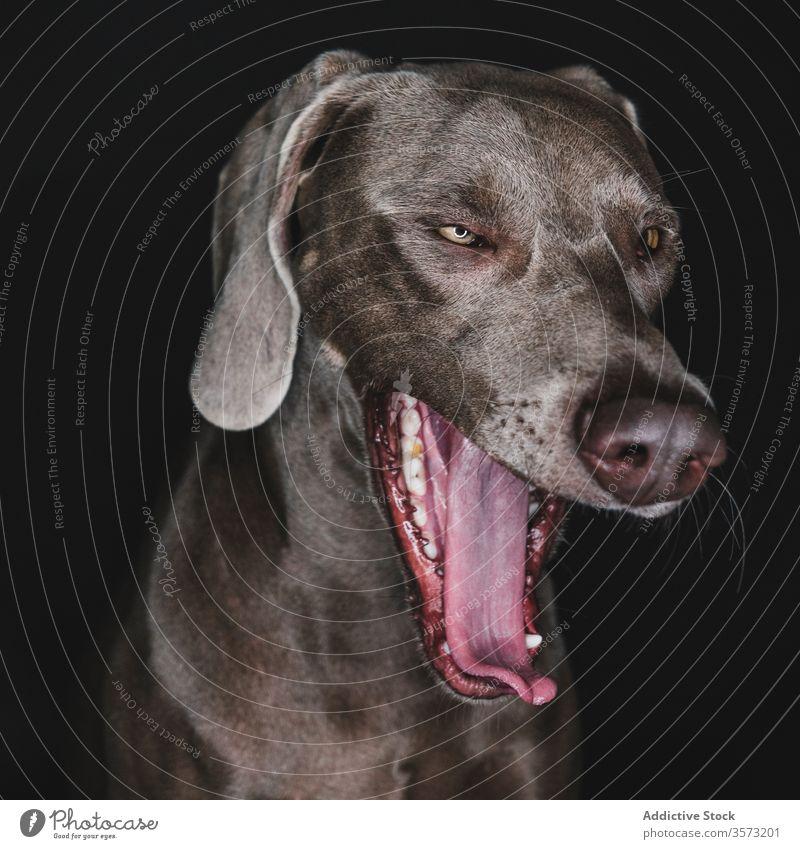 Lustiger Weimaraner-Hund auf schwarzem Hintergrund züchten Reinrassig Haustier Tier Maul lustig Stammbaum gundog starren Eckzahn heimisch bezaubernd loyal
