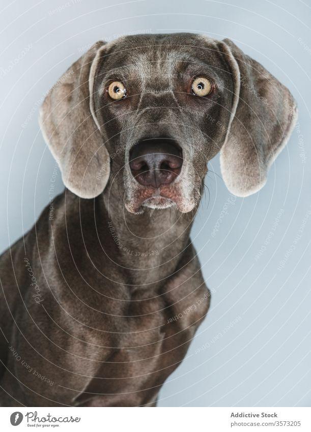 Lustiger Weimaraner-Hund auf weissem Hintergrund züchten Reinrassig Haustier Tier Maul lustig Stammbaum gundog starren Eckzahn heimisch bezaubernd loyal