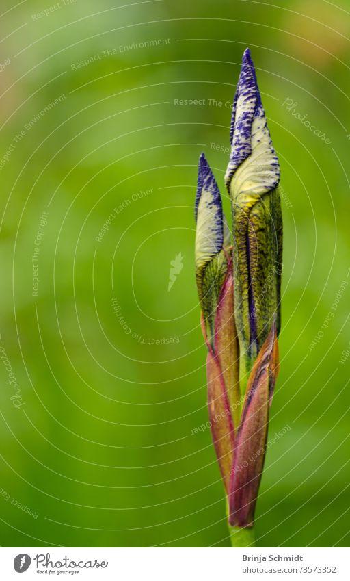 Eine sehr schöne Knospe und Blüte einer Lilie, eine Iris, mit einem farbenfrohen hellen Hintergrund als Makro, Nahaufnahme Garten Mai Schönheit Gartenarbeit