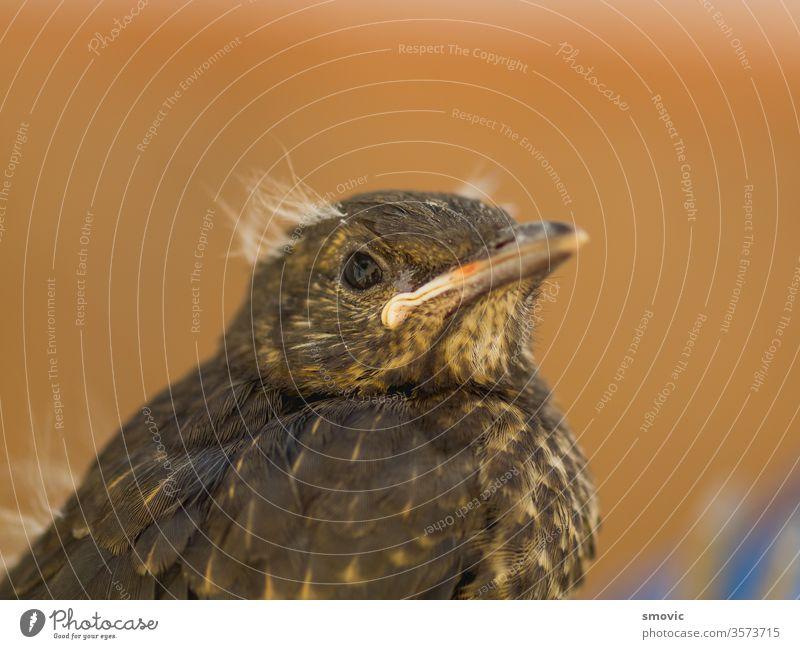 Europäisches Amselküken, das gerade das Nest verlassen hat Tier Vogel Vogelschutz Geburt Zucht Küken Hähnchen Nahaufnahme farbenfroh bunt grün Lebensraum