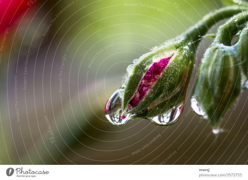 Wassertropfen an Pelargonien-Blütenknospe nass Morgen natürlich einzigartig Pflanze belebend erfrischend Schwache Tiefenschärfe Reflexion & Spiegelung Kontrast