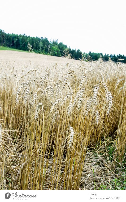 Getreidefeld Korn Kornfeld erntereif Landwirtschaft Ähren Natur Feld Sommer Pflanze Wachstum Nutzpflanze