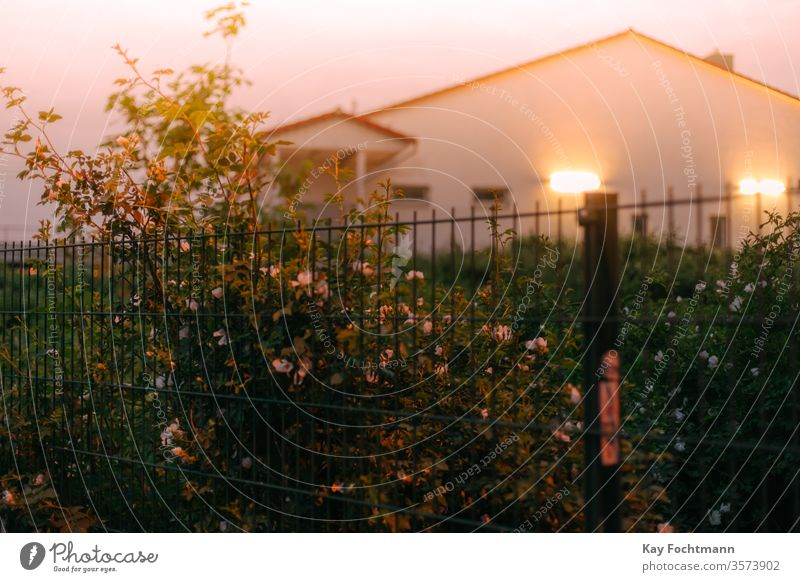 Rosenbusch am Zaun mit beleuchtetem Haus im Hintergrund Roséwein grün Gartenarbeit Buchse Blütenblätter rosa schön Überstrahlung Blume niemand Natur Blütezeit