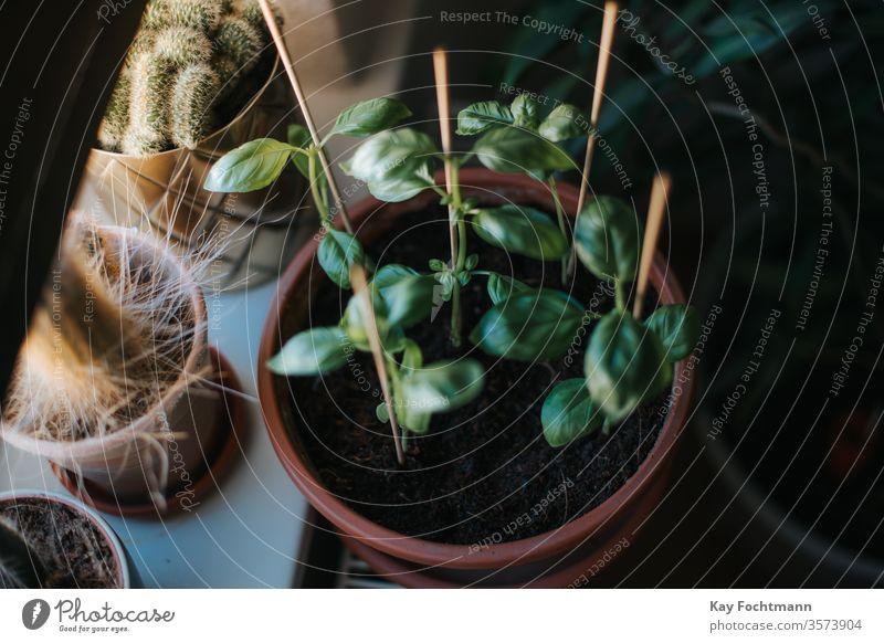 Foto von Basilikum, das in einem Topf in der Nähe eines Fensters wächst grün Kraut Pflanze Blatt Gewürz Bestandteil Gesundheit aromatisch Lebensmittel frisch