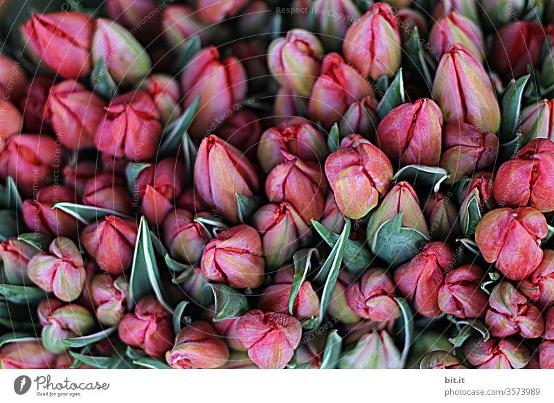 1900 I viele, schöne, geschlossene, pinke Tulpenblüten zusammen mit grünen Blumenblättern auf dem Markt zum Verkauf. Sortiment an hübschen, frischen Tulpen mit Blütenköpfen, von oben, in Rottönen. Draufsicht auf Dekoration mit Tulpia beim Blumenhändler.