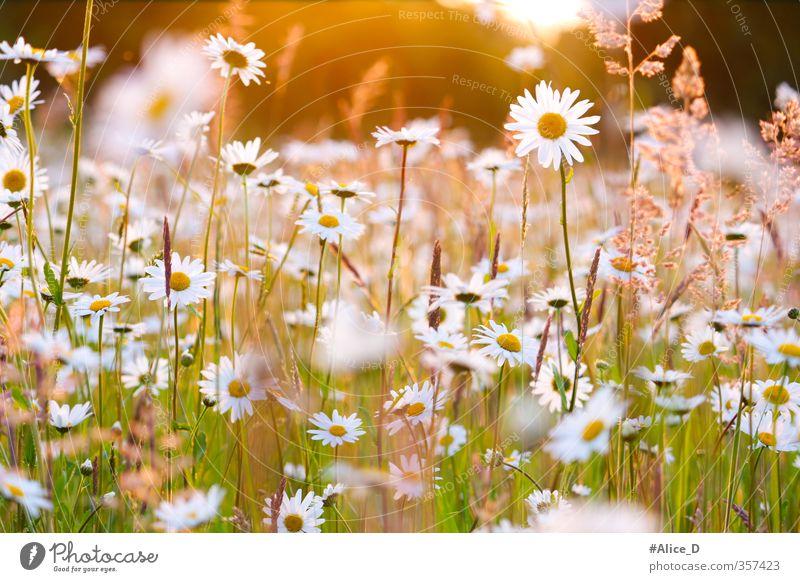 Margeritenfeld in Abendlicht Natur Landschaft Pflanze Sonnenlicht Frühling Schönes Wetter Blume Blüte Wildpflanze margeriten blumenfeld daisies field flowers
