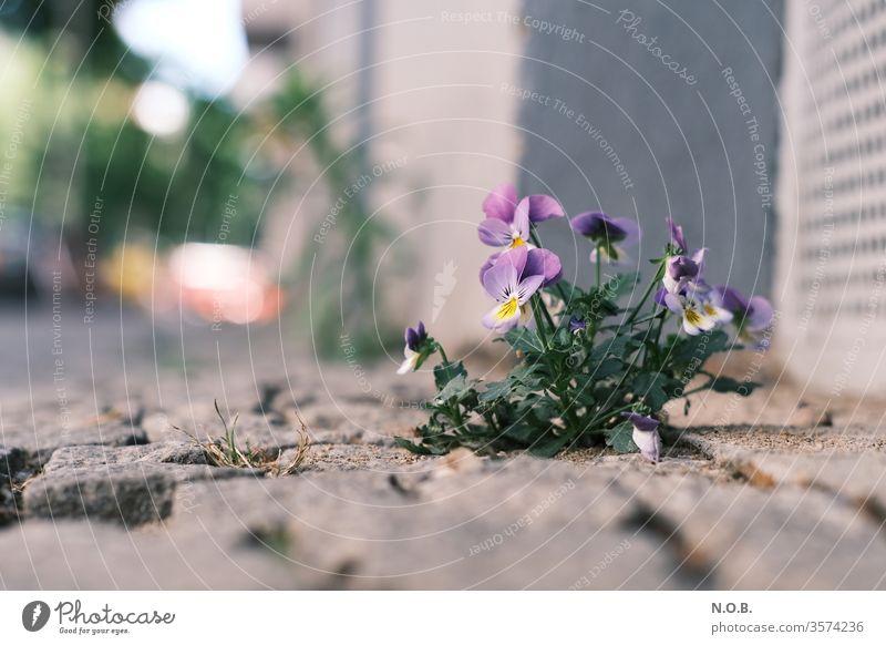 Eine Blume wächst auf dem Bürgersteig Stiefmütterchen Pflanze Farbfoto Blüte Außenaufnahme Menschenleer Schwache Tiefenschärfe Blühend Natur Nahaufnahme