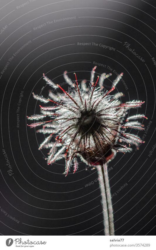 fein behaart leuchtet die Blüte der Bachnelkenwurz vor schwarzem Hintergrund Pflanze Samenstand Natur Gegenlicht Kontrast leuchten Hintergrund neutral
