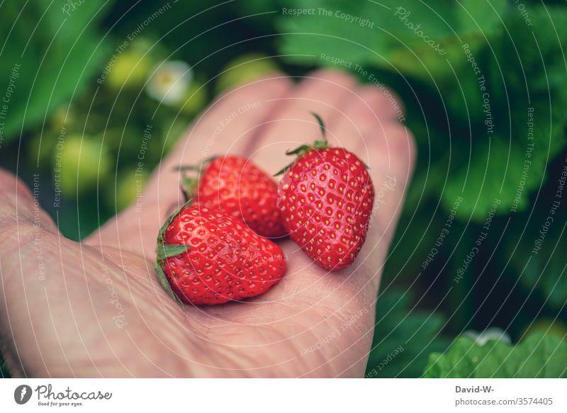 3 saftige leckere rote Erdbeeren in einer Hand vor grünem Hintergrund Erdbeerzeit Frucht Leckerbissen schön Beerenfrucht obstsorten Obsttorte ertrag ertragreich