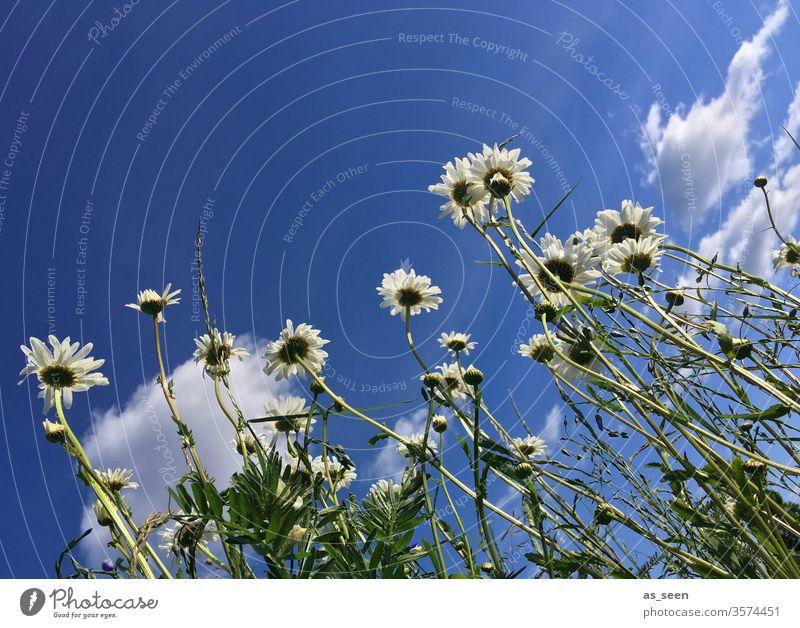 Margeriten Blume Blüte Sommer Natur weiß Pflanze grün gelb Frühling Farbfoto Wiese Außenaufnahme Blühend Menschenleer Tag Nahaufnahme schön Garten Gras