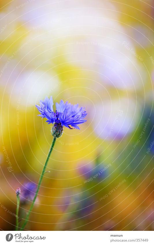 noch'n Korn Natur Pflanze Blume Kornblume Blühend natürlich Farbfoto Außenaufnahme Menschenleer Textfreiraum oben Kontrast