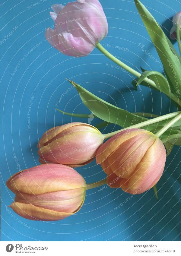 mal wieder gemeinsam abhängen. Tulpe Tulpenblüte Tulpenknospe tulpenstrauß blau rosa plastisch grün Pflanze zuhause Natur Blumenstrauß frisch Innenaufnahme
