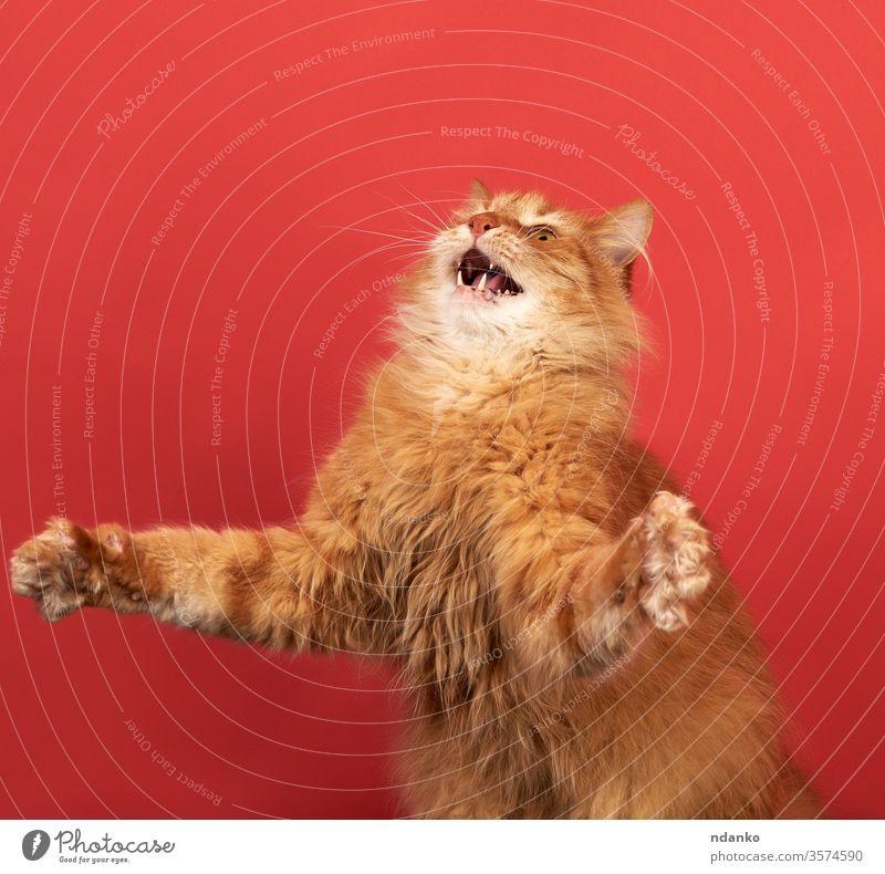 lustige erwachsene rote Katze spreizt die Vorderpfoten zur Seite, das Maul ist offen springen neugierig niedlich heimisch Gesicht sitzen Atelier nach oben