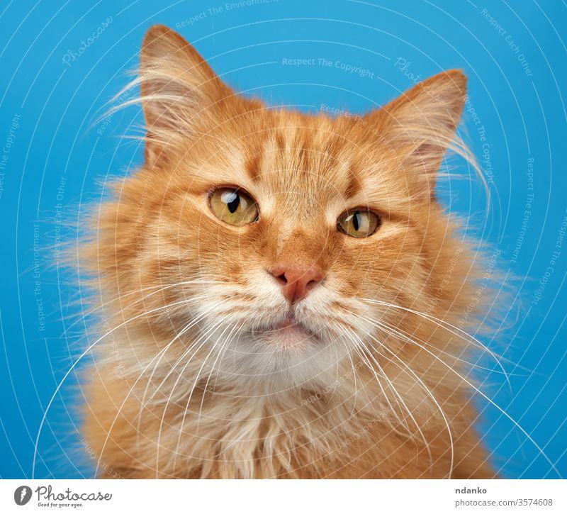 Porträt einer erwachsenen rothaarigen Plüschkatze auf blauem Hintergrund Eckzahn Katze Nahaufnahme Farbe neugierig bezaubernd Tier schön groß züchten braun