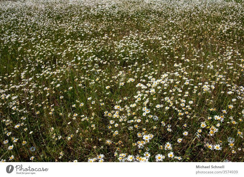 Unzählige Margeriten Blume Blüte Sommer Natur Blühend Frühling Farbfoto Außenaufnahme Menschenleer weiß Wachstum