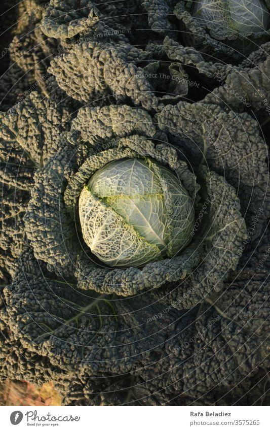Nahaufnahme eines frischen Kohls Pflanze Öko natürlich grün Kohlgewächse Lebensmittel echtes Essen