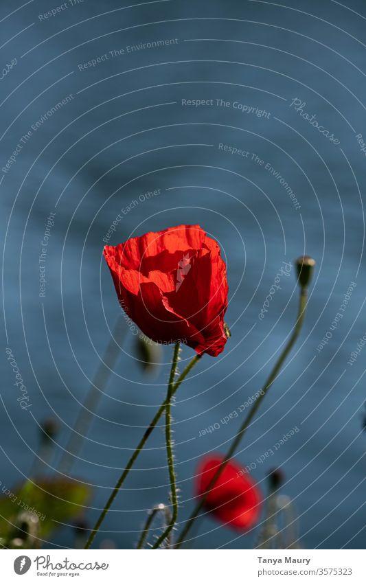 isolierte Mohnblume auf Wasser Blume rot Wiese Feld rote Mohnblume Farbe Umwelt Landschaft Pflanze Natur Sommer Frühling Mohnblüte Wind Himmel Außenaufnahme