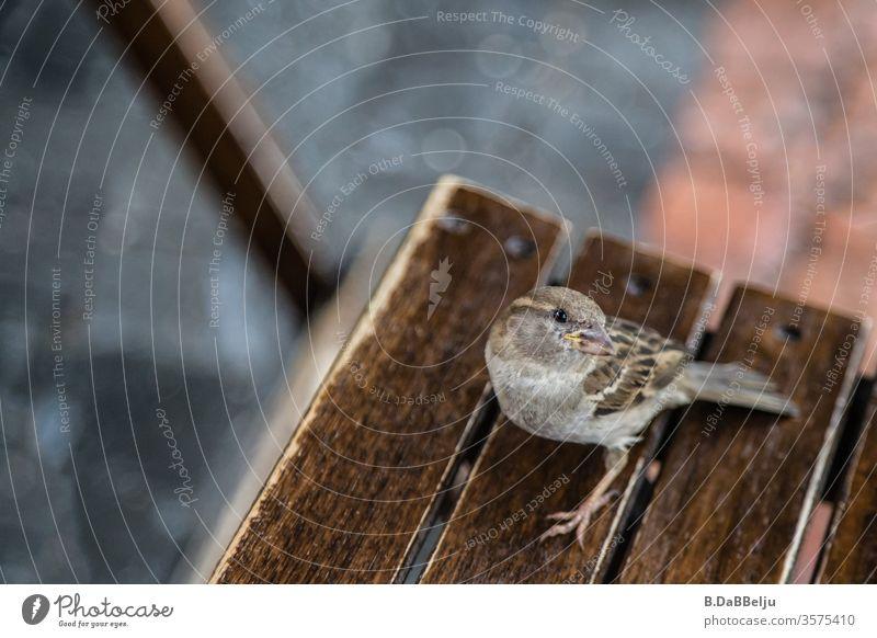 Der freche Spatz wartet auf seinen Anteil. Vogel Tier Außenaufnahme Farbfoto Tag Natur Wildtier Umwelt Tierporträt Menschenleer Neugier mutig Nahaufnahme