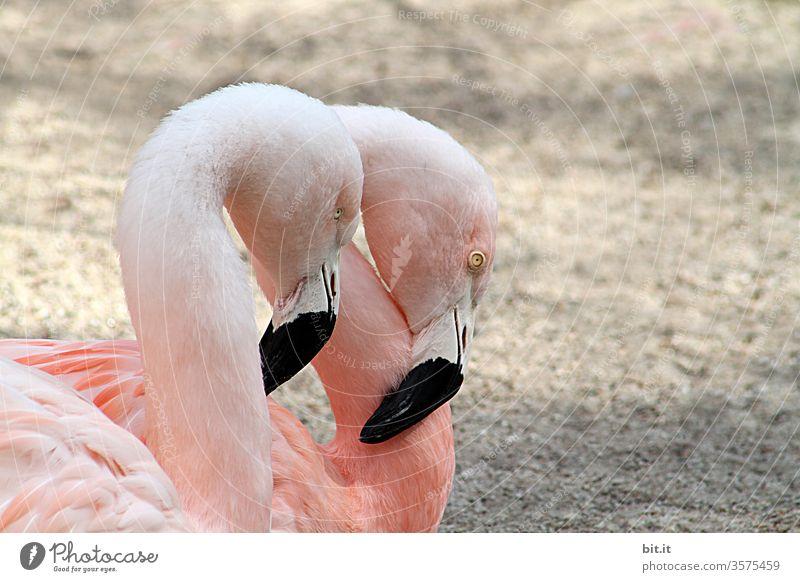 symmetrie l 2 schläfrige, rosa Flamingos stehen müde & hängenden Kopf und Schnabel am Sandstrand. Halbprofil, seitliches Tierporträt von unzertrennlichem Flamingo Paar im Zoo, Tierpark, Tiegehege, Vogelpark. Treue, Liebe, Freundschaft, Romantik in Tierwelt