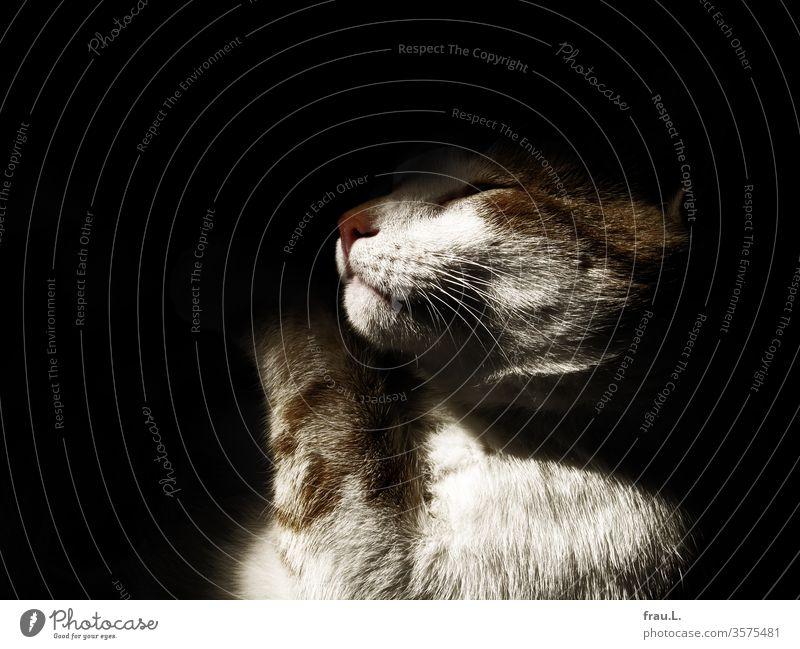 Schlafend träumte der rot-weiße Kater seine Verwandlung in einen Hasen. Katze Tier Haustier schlafen Erholung träumen Tierporträt Fell Hauskatze