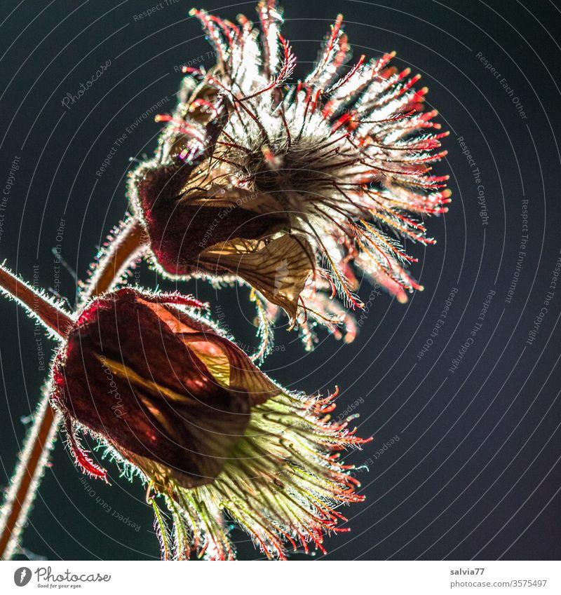 Zuneigung | wörtlich genommen Natur Pflanze Blütenknospen Makroaufnahme Blühend Bachnelkenwurz samenstand Gegenlicht Freisteller schwarzer hintergrund Kontrast