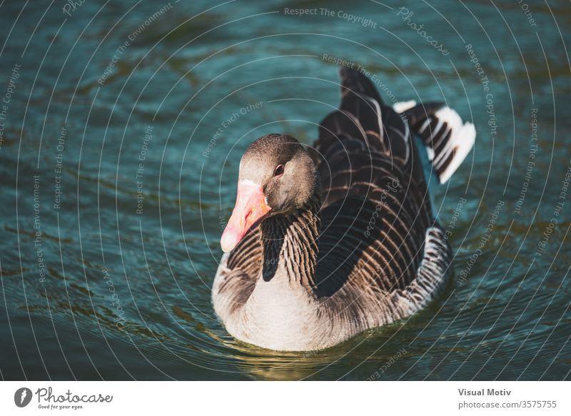 Nahaufnahme einer Wildgans, die in einem See eines städtischen Parks schwimmt Hausgans Vogel Schwimmsport Wasser Windstille Feder Tier Tierwelt Geflügel