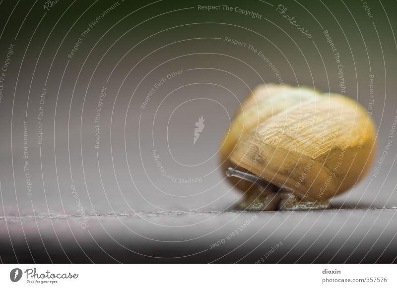 Und wo bleibt der Schnee? Tier Schnecke Schneckenhaus Fühler Weichtier 1 klein Natur Schutz Sicherheit langsam krabbeln Farbfoto Nahaufnahme Detailaufnahme