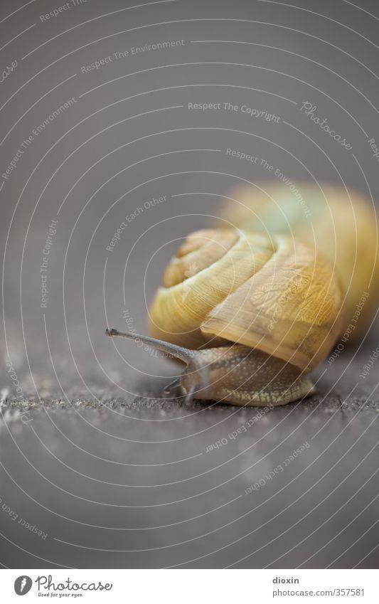 Tier | Weich Schnecke Schneckenhaus Weichtier Fühler 2 Natur Schutz Sicherheit langsam krabbeln Schädlinge Farbfoto Außenaufnahme Nahaufnahme Detailaufnahme