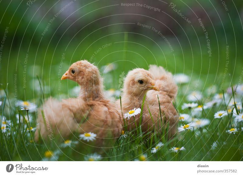 Blumenkinder Natur Pflanze Blume Tier Umwelt Wiese Gras natürlich Vogel Landwirtschaft Haustier Bioprodukte kuschlig Forstwirtschaft Biologische Landwirtschaft Nutztier