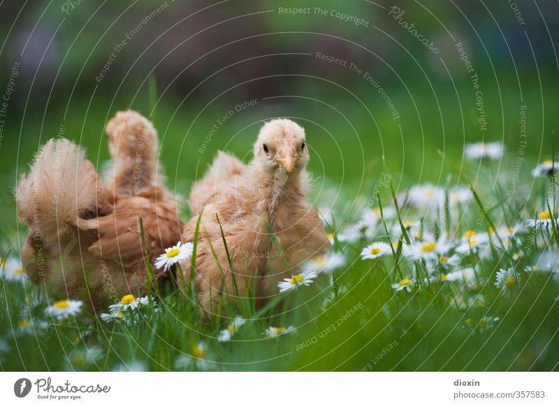chicks -2- Umwelt Natur Gras Wiese Tier Haustier Nutztier Vogel Haushuhn Küken Tierjunges kuschlig klein natürlich Neugier niedlich Bioprodukte