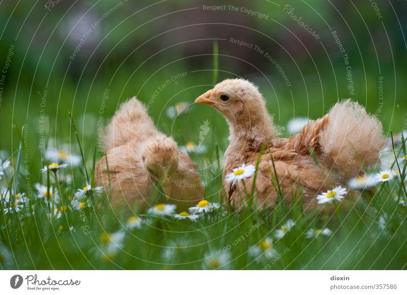 chicks -3- Umwelt Natur Gras Gänseblümchen Wiese Tier Haustier Nutztier Vogel Hühnervögel Küken 2 Tierjunges kuschlig klein natürlich Neugier niedlich