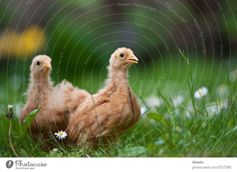 chicks -1- Natur Tier Umwelt Wiese Tierjunges Gras klein natürlich Vogel stehen niedlich Neugier Bauernhof Haustier Bioprodukte kuschlig