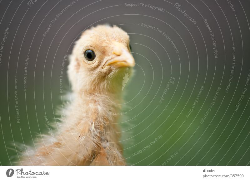 Ich wollt' ich wär' ein Huhn! Geflügel Geflügelfarm Umwelt Natur Tier Nutztier Vogel Tiergesicht Haushuhn Küken 1 Tierjunges Blick kuschlig klein Bioprodukte