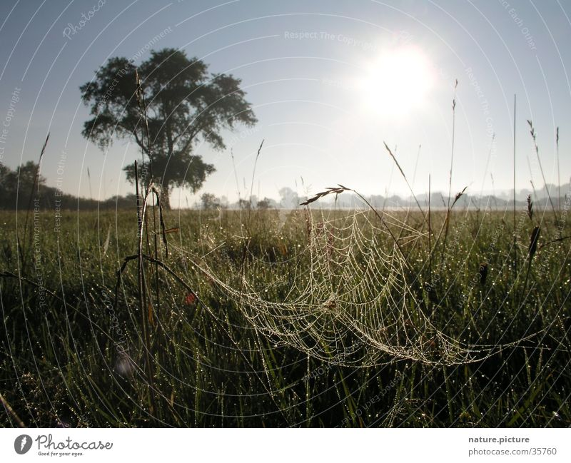 Weide und Spinnennetz mit Morgentau Sonne Wiese Gras Wassertropfen Tau Halm Elbe Flußauen