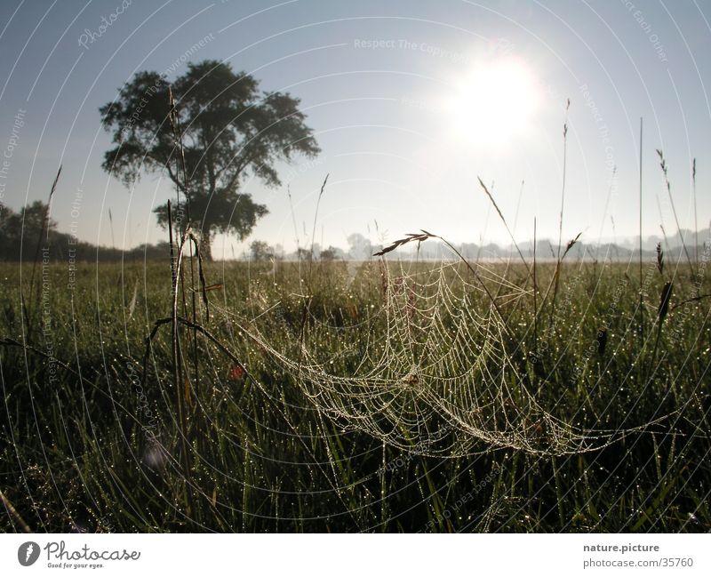Weide und Spinnennetz mit Morgentau Tau Wassertropfen Flußauen Wiese Gras Halm Sonne Solitärbaum Elbe