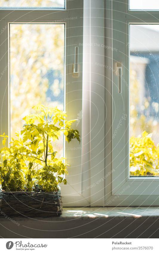 #A# Pflanze am Küchenfenster küchenfenster Tomatenpflanze grün drinnen Fensterbrett Fensterbank Topfpflanze Sommer Balkonien Fensterscheibe Frischluft lüften