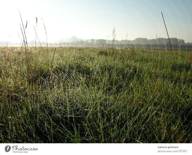 Spinnennetz mit Morgentau Sonne Wiese Gras Wassertropfen Tau Halm Elbe Flußauen