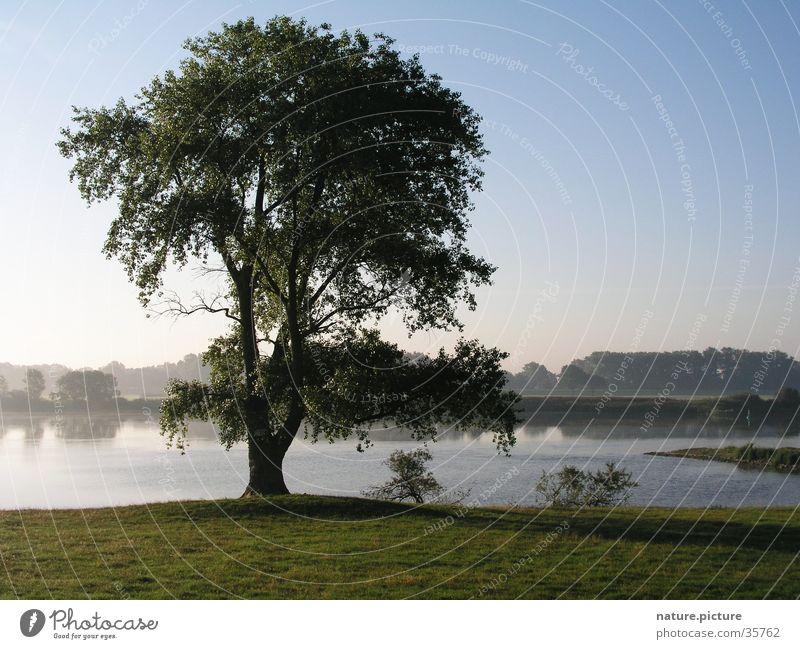 Weide am Fluss Morgen Flußauen Pappeln Wiese Baum Elektrizität Morgendämmerung Stromtal Elbe Elbstrom Solitärbaum Weichholzaue Nebel Blauer Himmel
