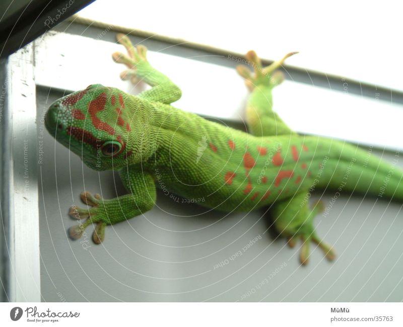 Gecko grün rot Echsen Echte Eidechsen Zoo Terrarium Tiergarten Lurch Gekko