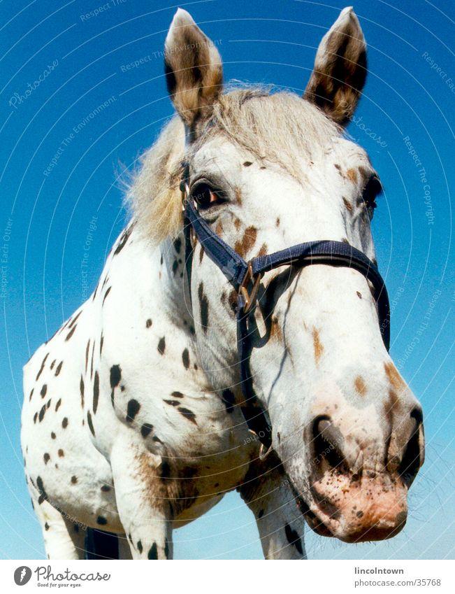 Der Kleine Onkel Pferd frontal Weide Verkehr